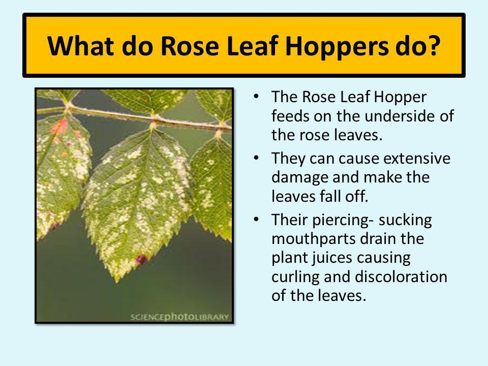 What do Rose Leaf Hoppers do? The Rose Leaf Hopper feeds on the underside of the rose leaves. They can cause extensive damage and make the leaves fall