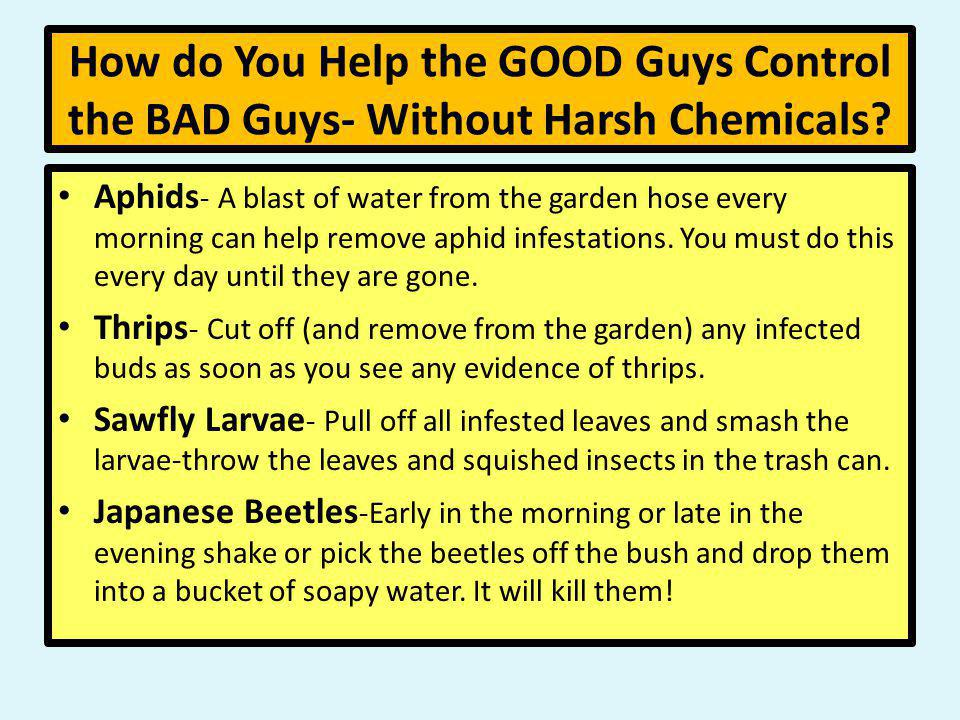 How do You Help the GOOD Guys Control the BAD Guys- Without Harsh Chemicals? Aphids - A blast of water from the garden hose every morning can help rem