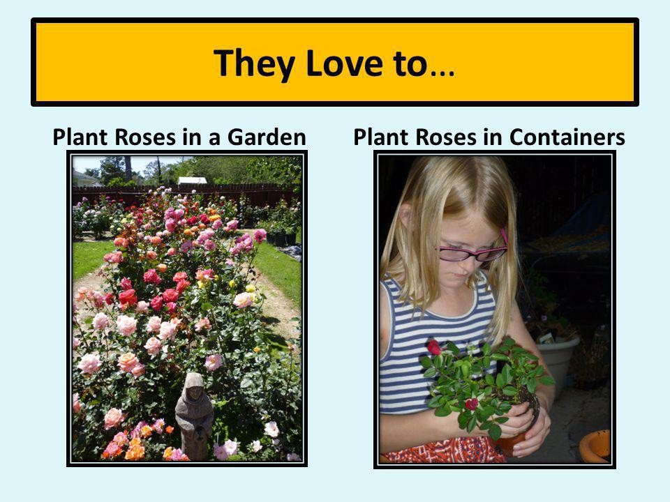 They Love to… Plant Roses in a Garden Plant Roses in Containers