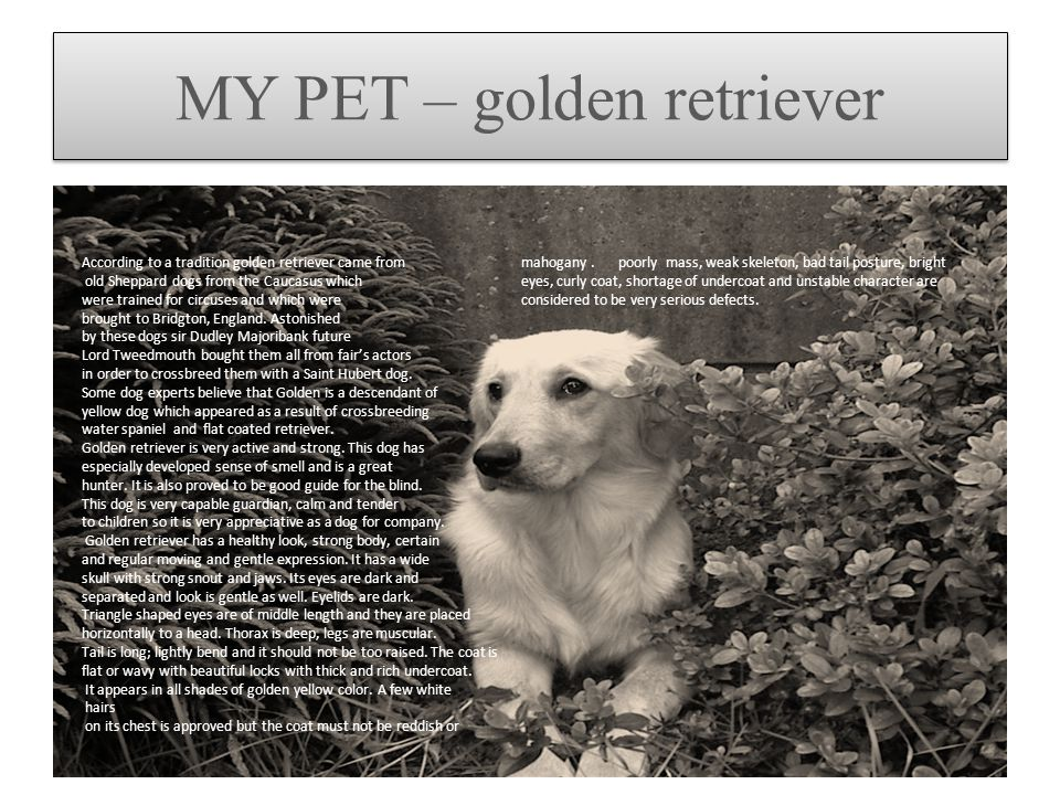 MY PET – golden retriever According to a tradition golden retriever came from old Sheppard dogs from the Caucasus which were trained for circuses and
