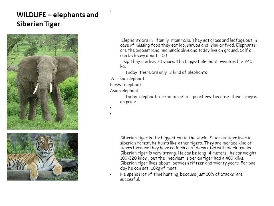 WILDLIFE – elephants and Siberian Tigar Elephants are in family mammalia. They eat grass and leafage but in case of missing food they eat lop, shrubs