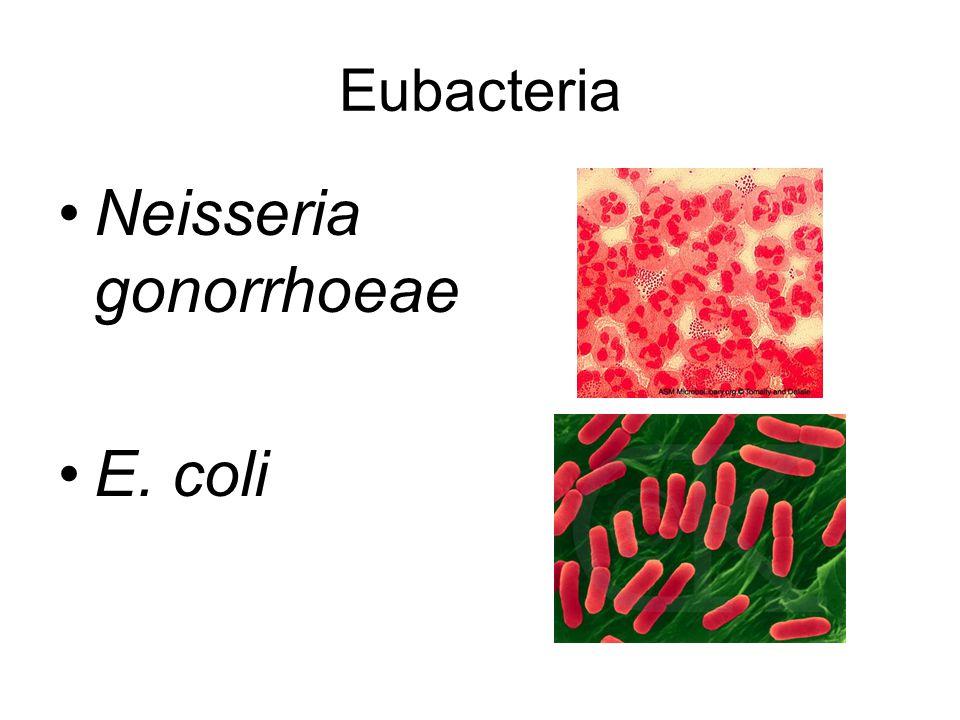 Eubacteria Neisseria gonorrhoeae E. coli