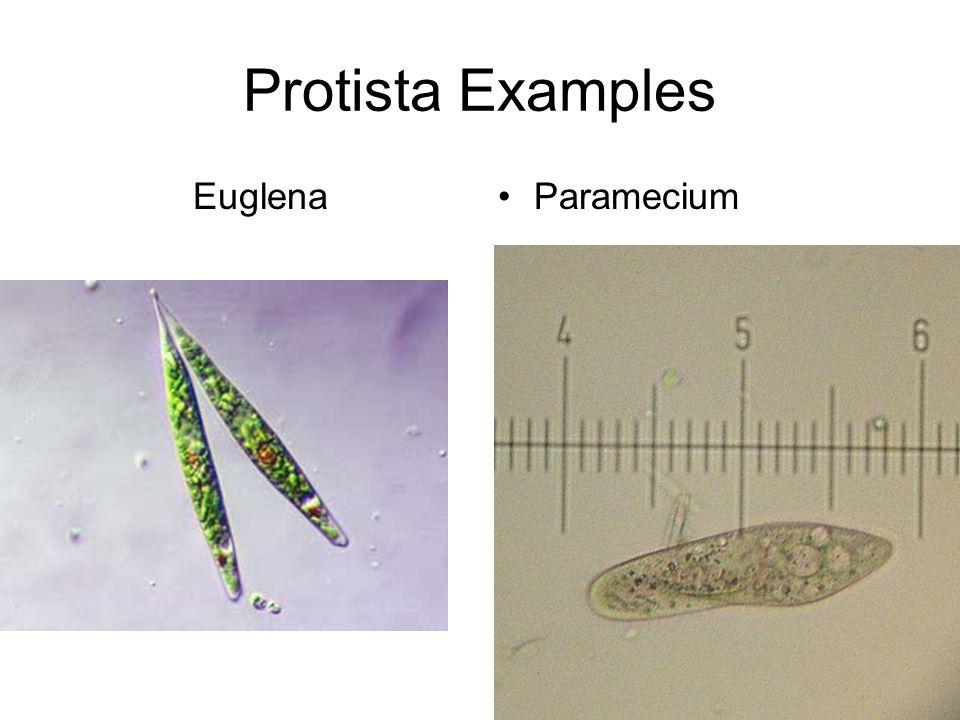 Protista Examples EuglenaParamecium
