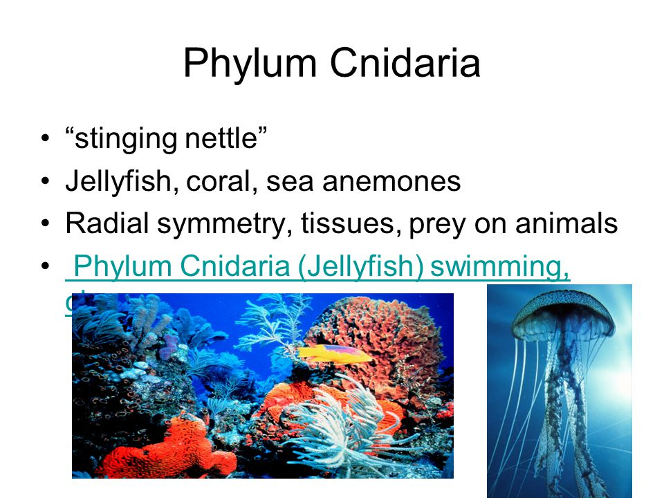 Phylum Cnidaria stinging nettle Jellyfish, coral, sea anemones Radial symmetry, tissues, prey on animals Phylum Cnidaria (Jellyfish) swimming, close-u