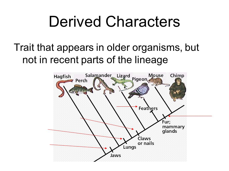 Derived Characters Trait that appears in older organisms, but not in recent parts of the lineage