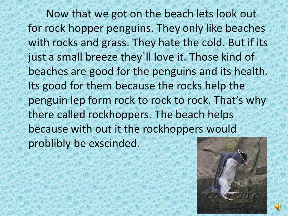 Now that we got on the beach lets look out for rock hopper penguins.