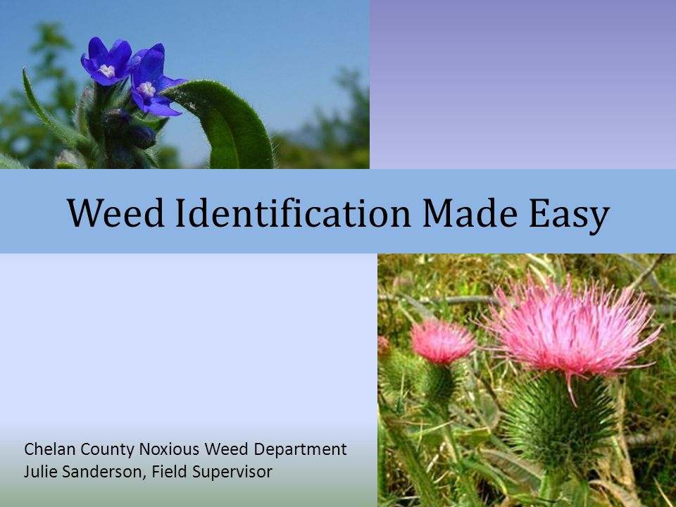 Weed Identification Made Easy Chelan County Noxious Weed Department Julie Sanderson, Field Supervisor