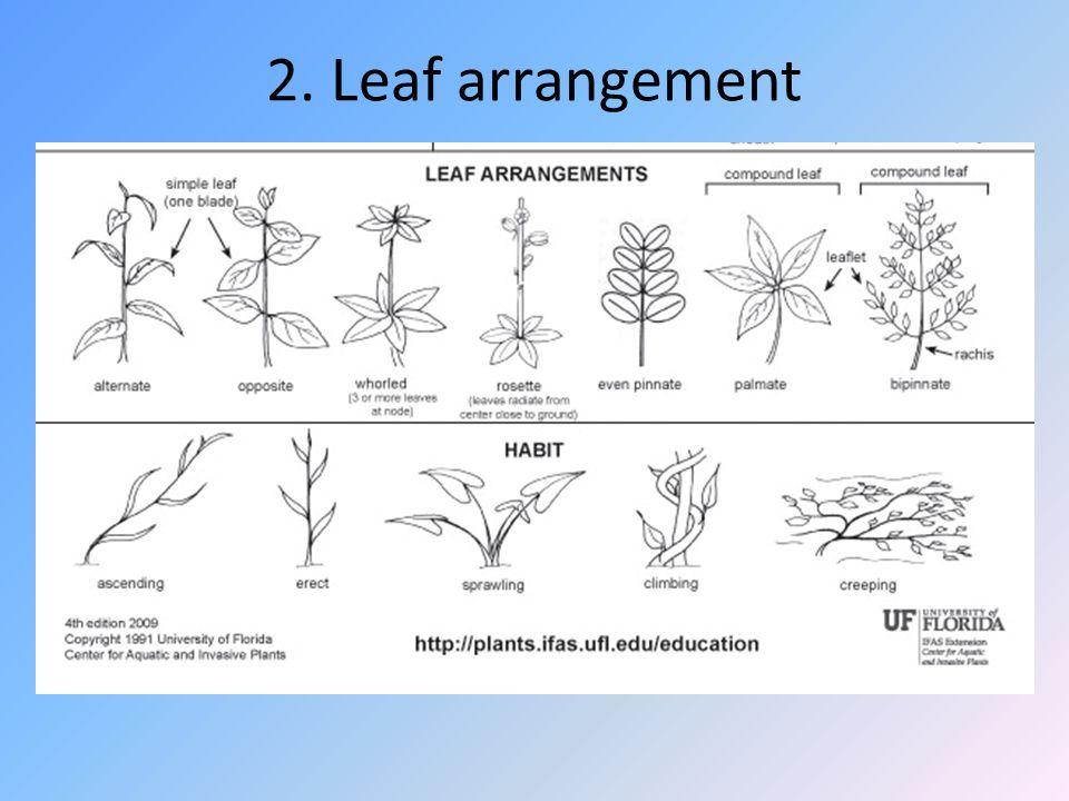 2. Leaf arrangement