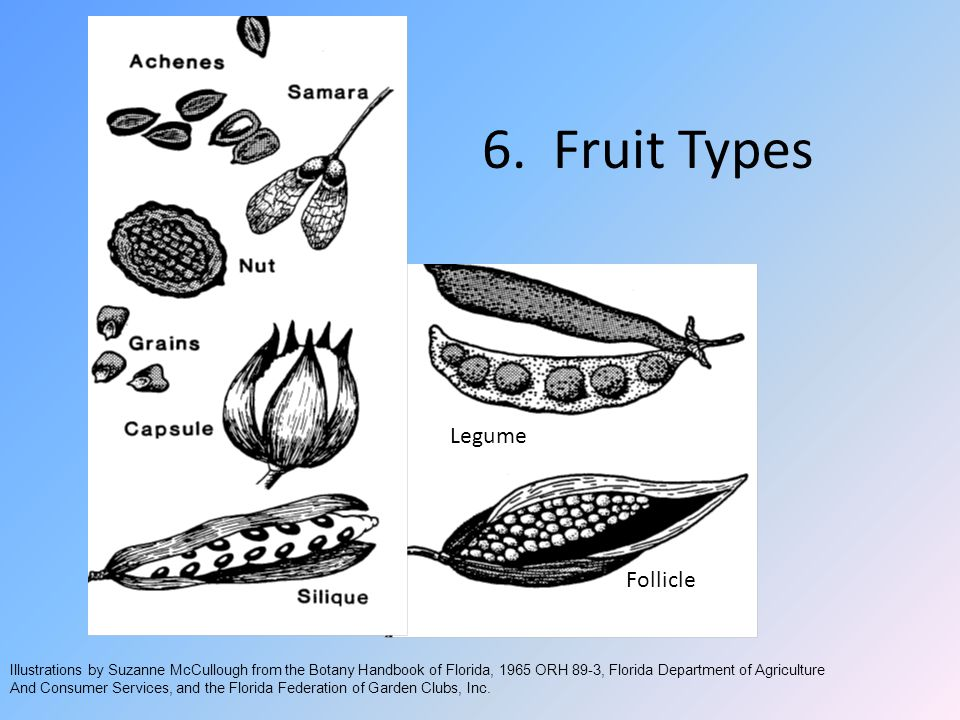 6. Fruit Types Legume Follicle Illustrations by Suzanne McCullough from the Botany Handbook of Florida, 1965 ORH 89-3, Florida Department of Agricultu