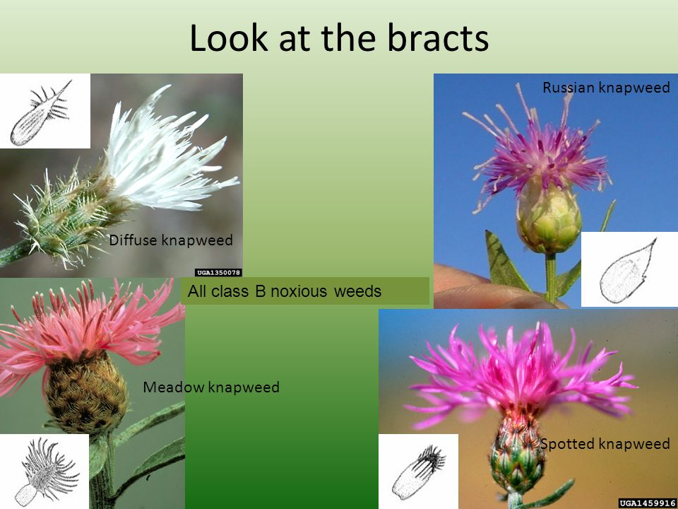 Look at the bracts Diffuse knapweed Meadow knapweed Russian knapweed Spotted knapweed All class B noxious weeds