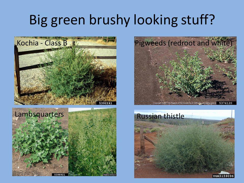Big green brushy looking stuff? Kochia - Class BPigweeds (redroot and white) Lambsquarters Russian thistle