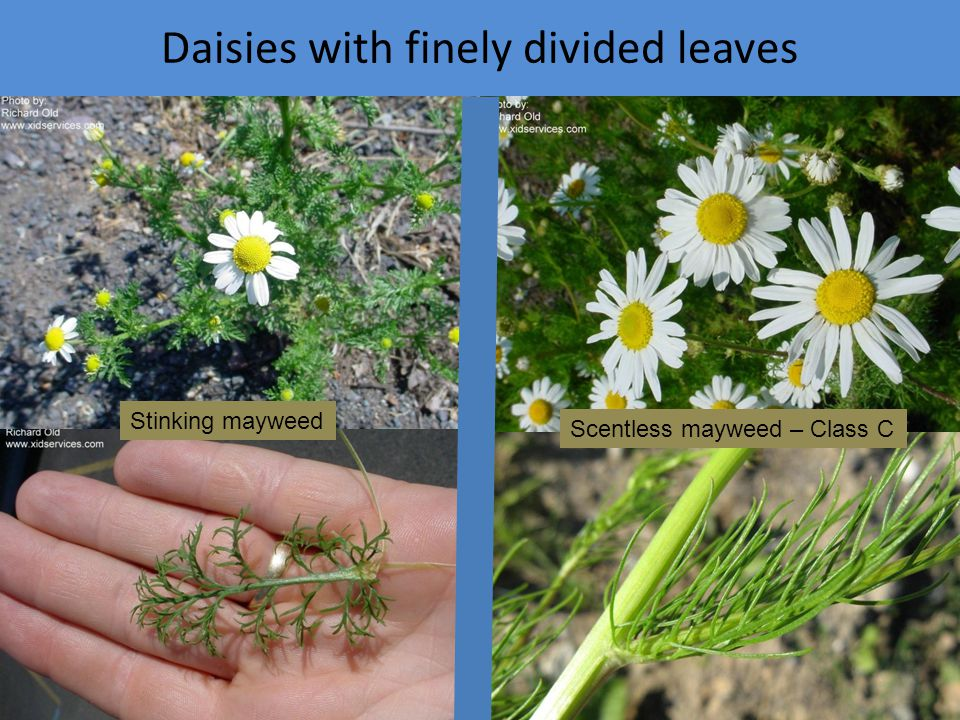 Daisies with finely divided leaves Stinking mayweed Scentless mayweed – Class C