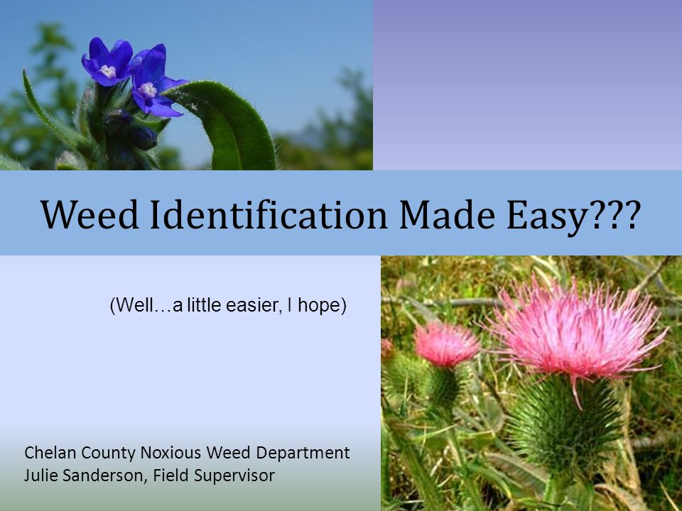 Weed Identification Made Easy??? Chelan County Noxious Weed Department Julie Sanderson, Field Supervisor (Well…a little easier, I hope)