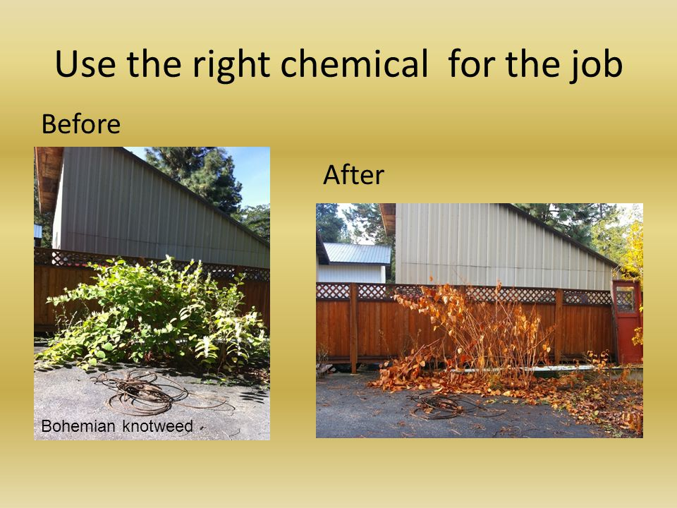 Use the right chemical for the job Before After Bohemian knotweed