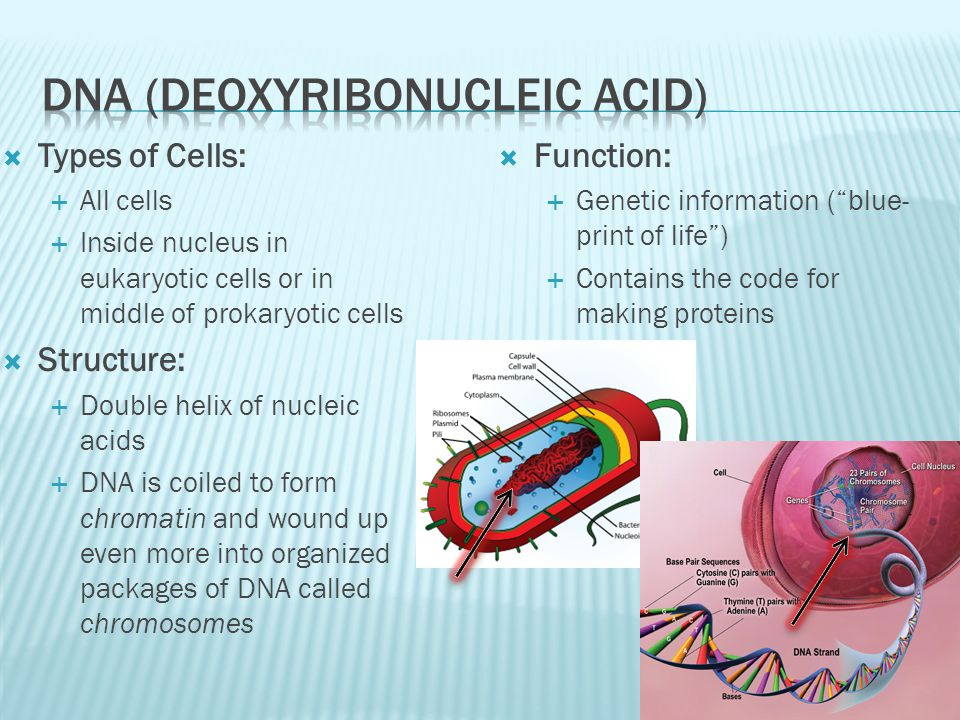 Types of Cells: All cells Inside nucleus in eukaryotic cells or in middle of prokaryotic cells Structure: Double helix of nucleic acids DNA is coiled to form chromatin and wound up even more into organized packages of DNA called chromosomes Function: Genetic information (blue- print of life) Contains the code for making proteins