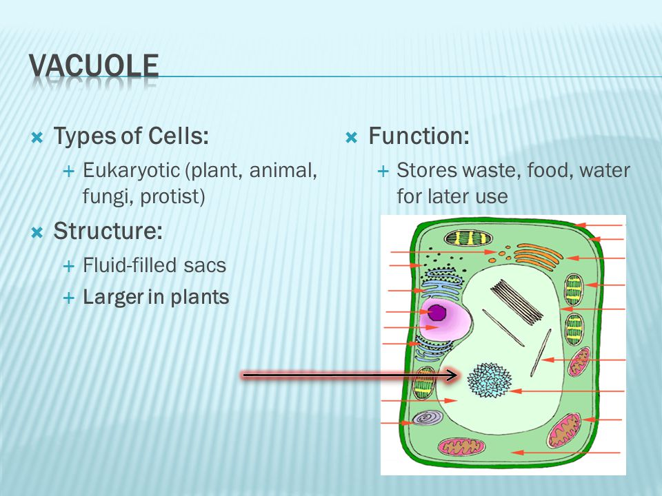 Types of Cells: Eukaryotic (plant, animal, fungi, protist) Structure: Fluid-filled sacs Larger in plants Function: Stores waste, food, water for later use