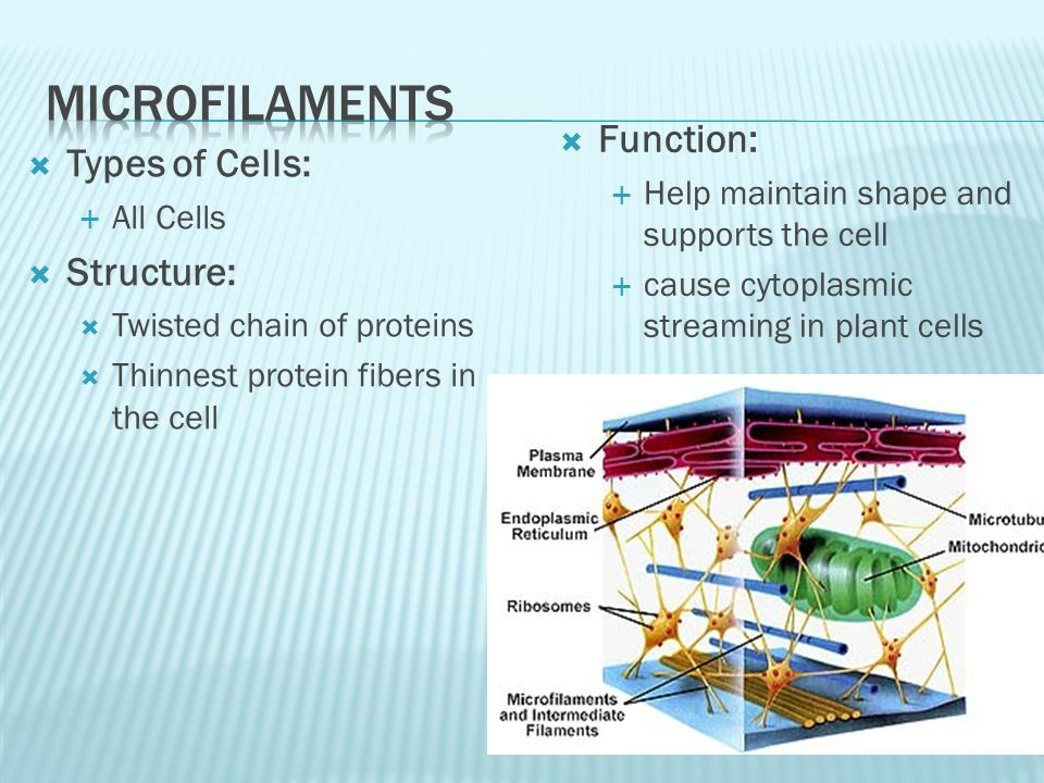 Types of Cells: All Cells Structure: Twisted chain of proteins Thinnest protein fibers in the cell Function: Help maintain shape and supports the cell cause cytoplasmic streaming in plant cells