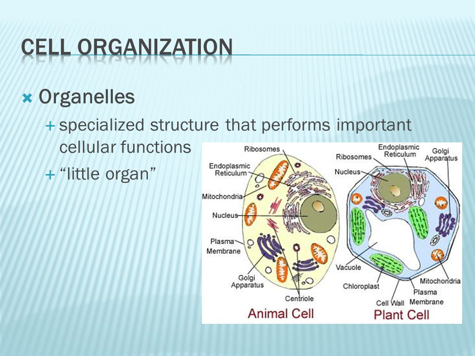 Organelles specialized structure that performs important cellular functions little organ