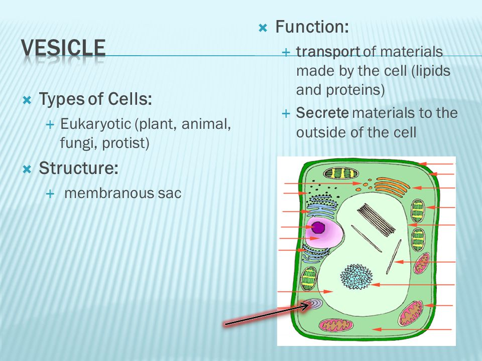 Types of Cells: Eukaryotic (plant, animal, fungi, protist) Structure: membranous sac Function: transport of materials made by the cell (lipids and proteins) Secrete materials to the outside of the cell
