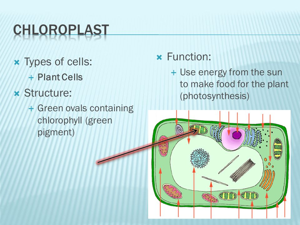 Types of cells: Plant Cells Structure: Green ovals containing chlorophyll (green pigment) Function: Use energy from the sun to make food for the plant (photosynthesis)