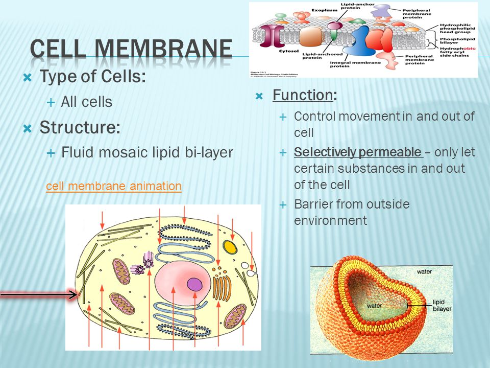 Type of Cells: All cells Structure: Fluid mosaic lipid bi-layer Function: Control movement in and out of cell Selectively permeable – only let certain substances in and out of the cell Barrier from outside environment cell membrane animation