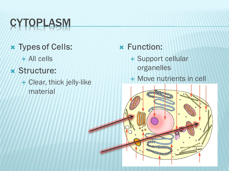 Types of Cells: All cells Structure: Clear, thick jelly-like material Function: Support cellular organelles Move nutrients in cell