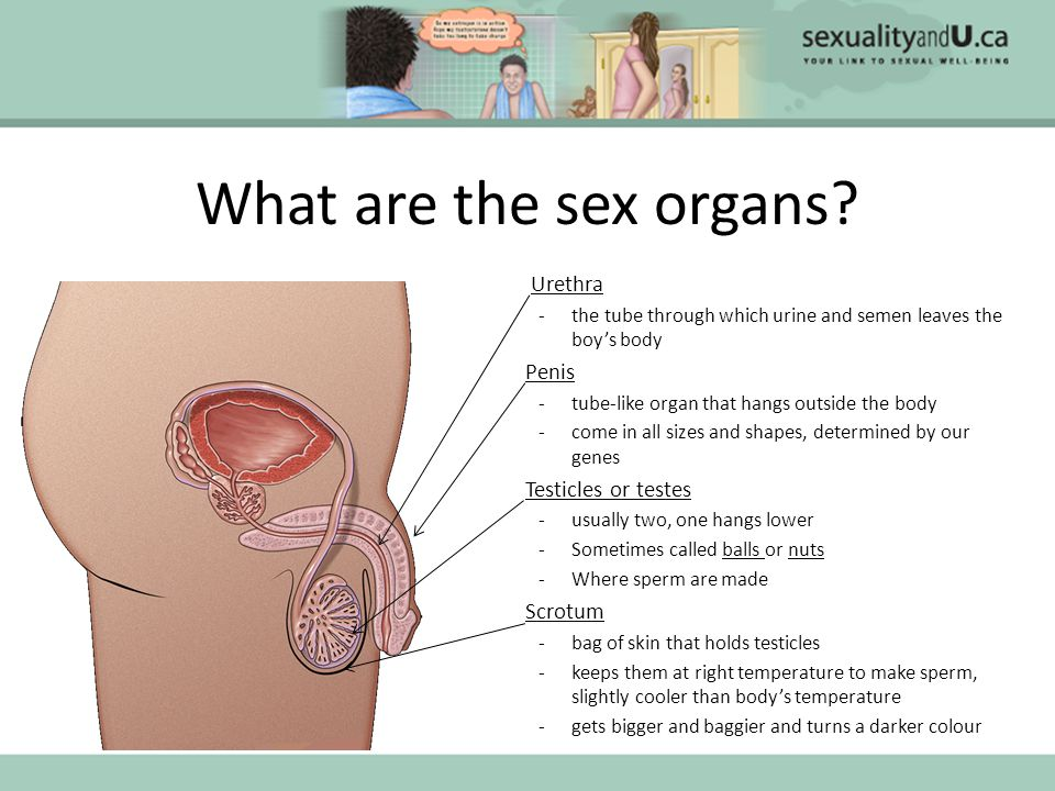 What are the sex organs.