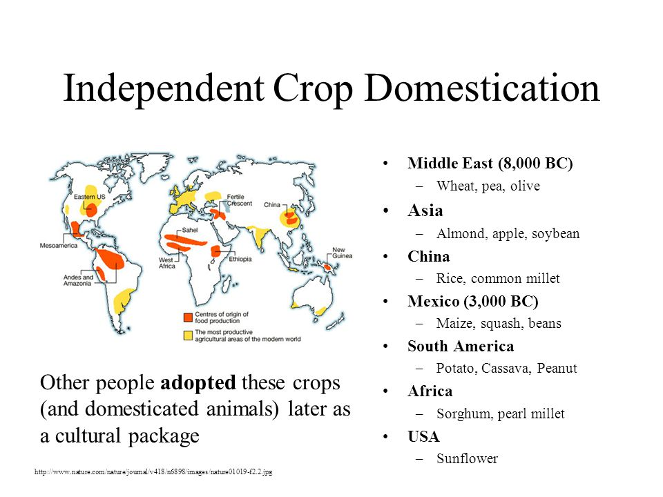 Independent Crop Domestication Middle East (8,000 BC) –Wheat, pea, olive Asia –Almond, apple, soybean China –Rice, common millet Mexico (3,000 BC) –Maize, squash, beans South America –Potato, Cassava, Peanut Africa –Sorghum, pearl millet USA –Sunflower Other people adopted these crops (and domesticated animals) later as a cultural package http://www.nature.com/nature/journal/v418/n6898/images/nature01019-f2.2.jpg