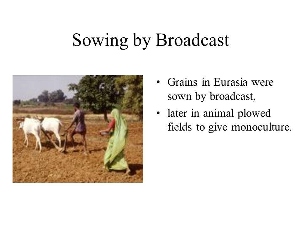 Sowing by Broadcast Grains in Eurasia were sown by broadcast, later in animal plowed fields to give monoculture.