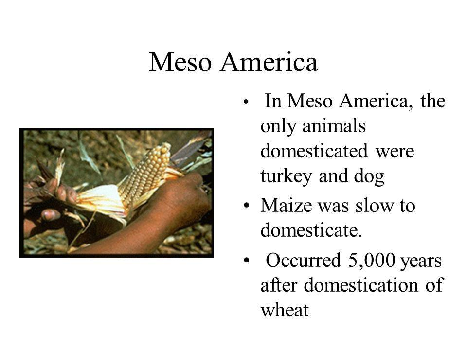 Meso America In Meso America, the only animals domesticated were turkey and dog Maize was slow to domesticate. Occurred 5,000 years after domesticatio