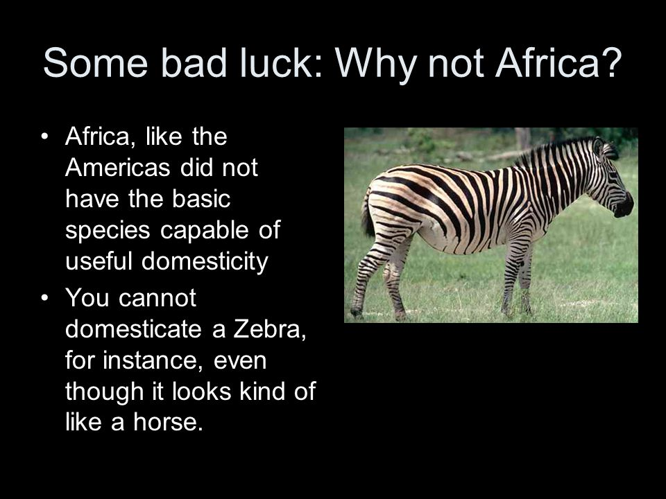 Some bad luck: Why not Africa? Africa, like the Americas did not have the basic species capable of useful domesticity You cannot domesticate a Zebra,