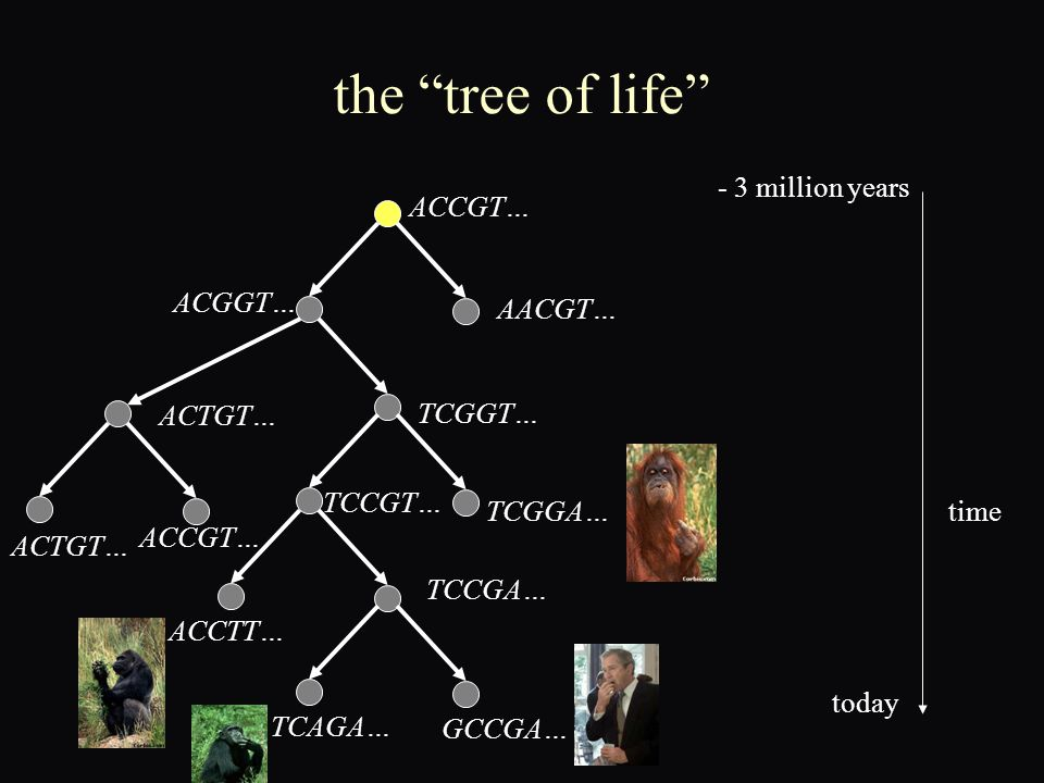 the tree of life ACCGT… AACGT… ACGGT… ACTGT… TCGGT… ACTGT… ACCGT… TCGGA… TCCGT… TCCGA… ACCTT… TCAGA… GCCGA… time - 3 million years today