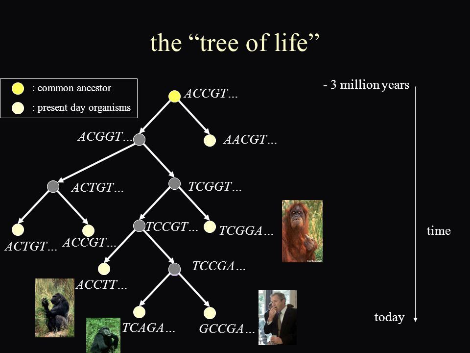 the tree of life ACCGT… AACGT… ACGGT… ACTGT… TCGGT… ACTGT… ACCGT… TCGGA… TCCGT… TCCGA… ACCTT… TCAGA… GCCGA… - 3 million years today time : common ancestor : present day organisms