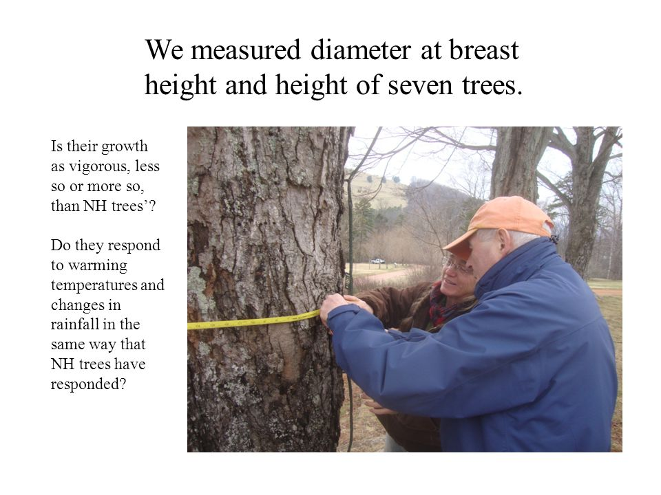We measured diameter at breast height and height of seven trees. Is their growth as vigorous, less so or more so, than NH trees? Do they respond to wa