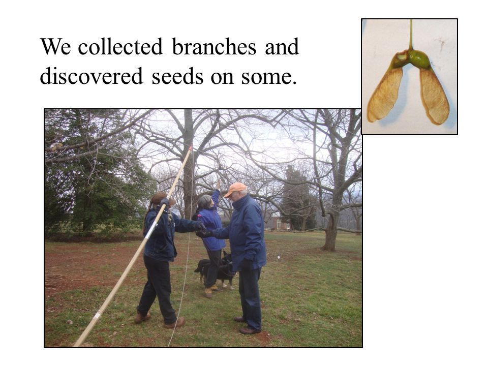 We collected branches and discovered seeds on some.