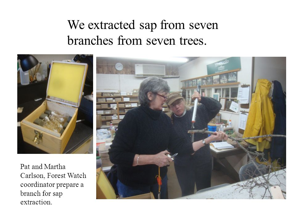 We extracted sap from seven branches from seven trees. Pat and Martha Carlson, Forest Watch coordinator prepare a branch for sap extraction.