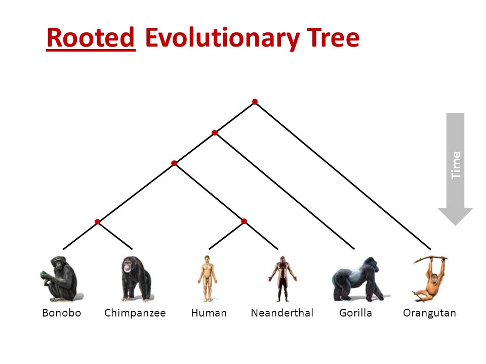 Evolutionary Tree BonoboChimpanzeeHumanNeanderthalGorillaOrangutan Time Rooted