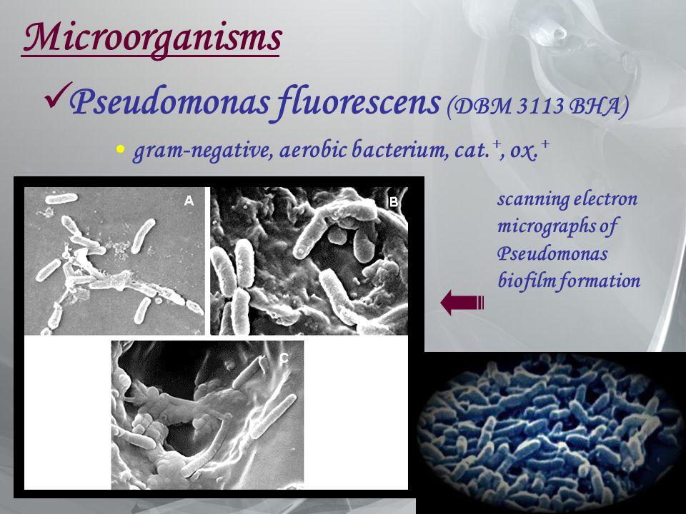 Microorganisms Pseudomonas fluorescens (DBM 3113 BHA) gram-negative, aerobic bacterium, cat. +, ox. + scanning electron micrographs of Pseudomonas bio