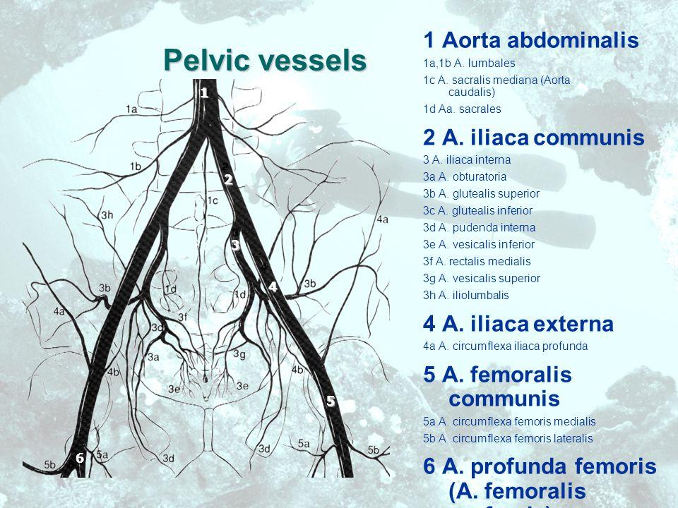Pelvic vessels 1 Aorta abdominalis 1a,1b A. lumbales 1c A.