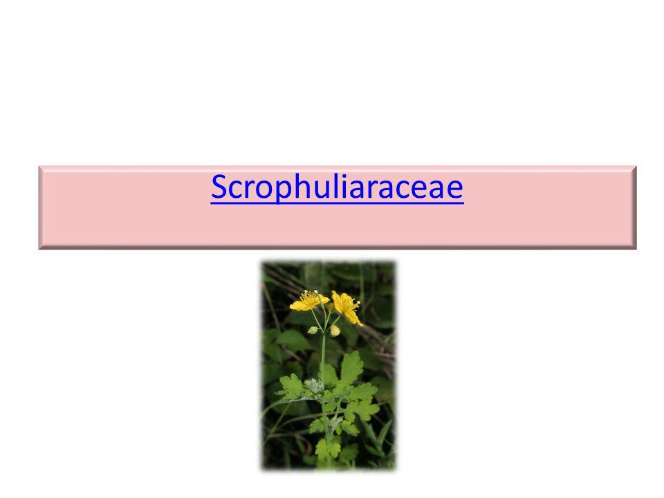 Scrophuliaraceae