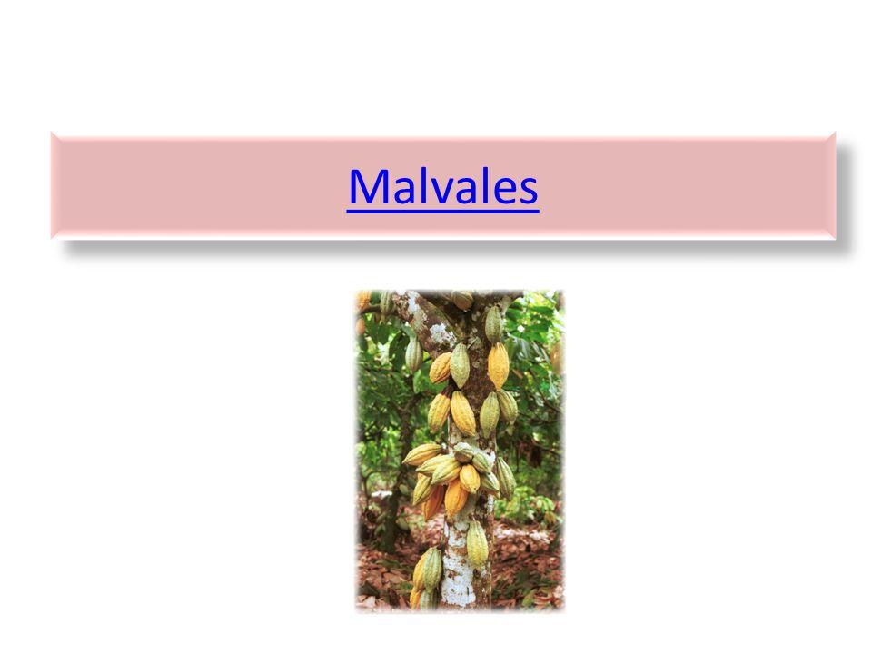 Malvales