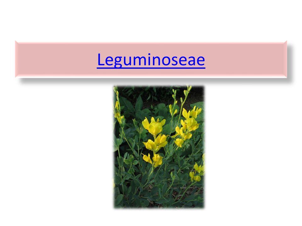 Leguminoseae