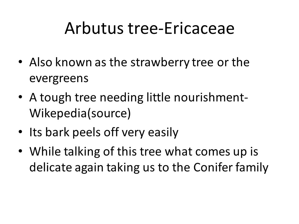 Arbutus tree-Ericaceae Also known as the strawberry tree or the evergreens A tough tree needing little nourishment- Wikepedia(source) Its bark peels off very easily While talking of this tree what comes up is delicate again taking us to the Conifer family