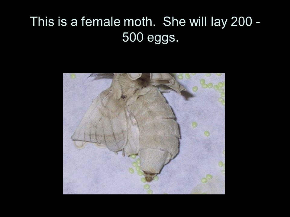 This is a female moth. She will lay 200 - 500 eggs.