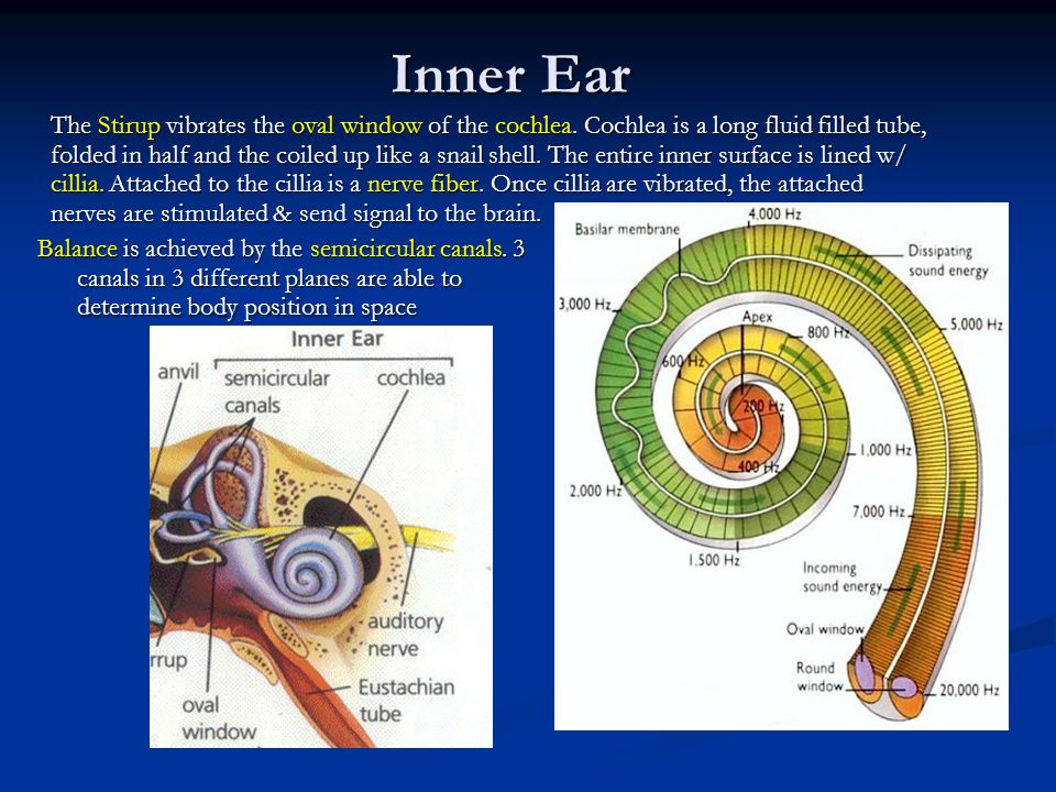 Inner Ear The Stirup vibrates the oval window of the cochlea.