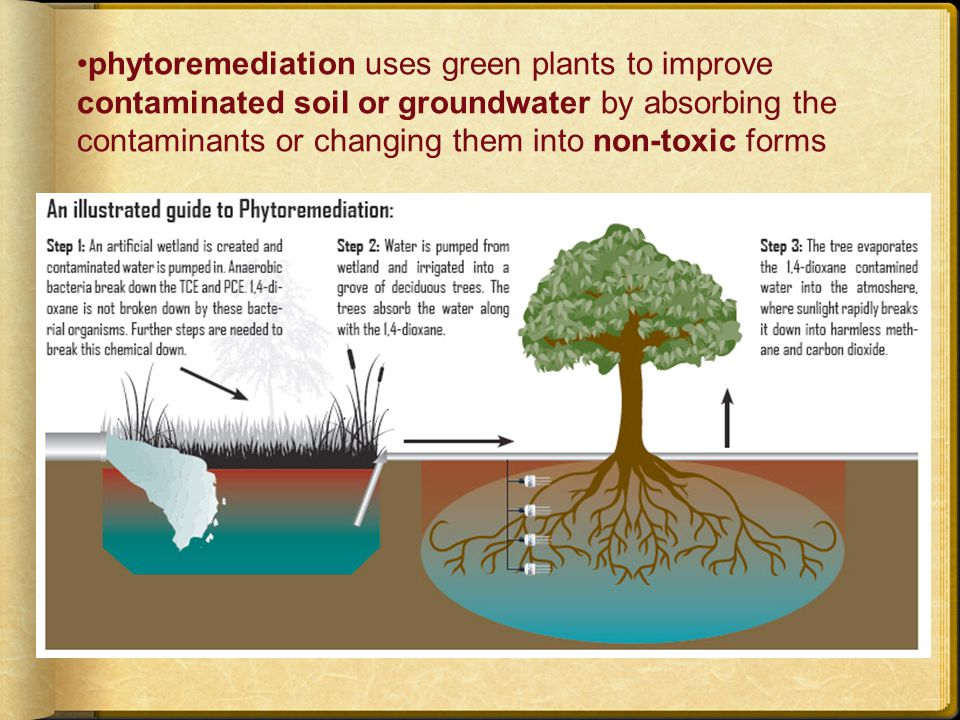 phytoremediation uses green plants to improve contaminated soil or groundwater by absorbing the contaminants or changing them into non-toxic forms