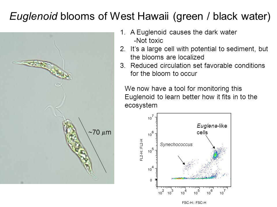 Euglena-like cells Synechococcus Euglenoid blooms of West Hawaii (green / black water) ~70 m 1.A Euglenoid causes the dark water -Not toxic 2.Its a la