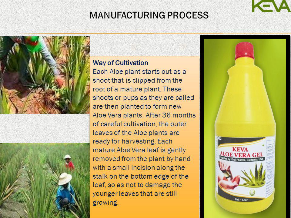 Way of Cultivation Each Aloe plant starts out as a shoot that is clipped from the root of a mature plant. These shoots or pups as they are called are