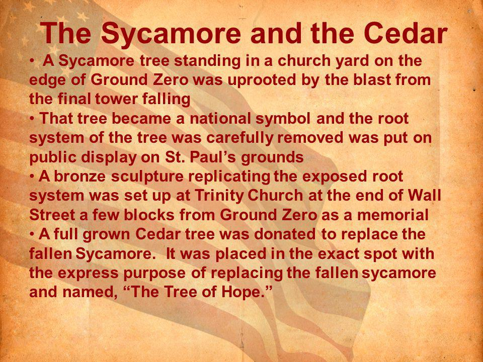The Sycamore and the Cedar A Sycamore tree standing in a church yard on the edge of Ground Zero was uprooted by the blast from the final tower falling That tree became a national symbol and the root system of the tree was carefully removed was put on public display on St.