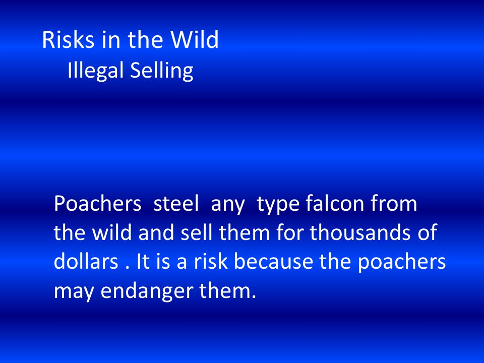 Risks in the Wild Illegal Selling Poachers steel any type falcon from the wild and sell them for thousands of dollars.